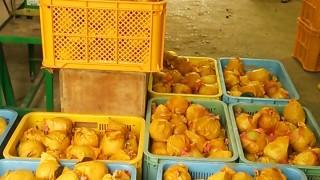 間もなく、幸水梨の収穫を終了