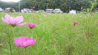 わが家の野菜畑と秋桜