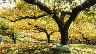 梨山の紅葉、いま見頃です