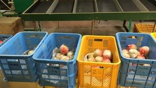 幸水梨の収穫