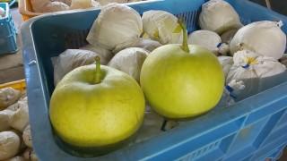 二十世紀梨、豊水梨の収穫を始めました