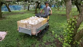梨の収穫ラストスパート孫もお手伝い