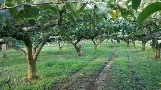 今日で二十世紀梨の収穫が終了しました。