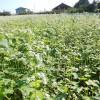 大阿太高原で蕎麦が満開です