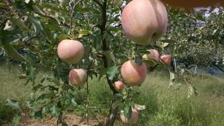 リンゴが実ってきました。