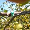 今年、枝の誘引で結束したひもを切っています。  剪定前の作業です。