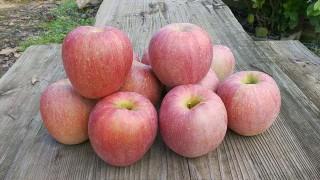リンゴも色付いて来たので、ためし取りをしました。