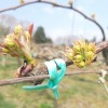 梨の花が膨らんできました。