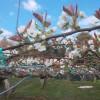梨の花が満開近し!