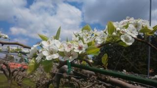 梨の葉っぱ