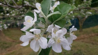 リンゴの花が満開です