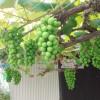今日は、ブドウの袋かけをしています。