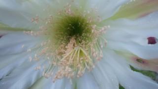 サボテンの花に会えました