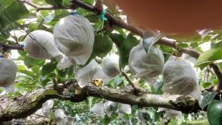 二十世紀梨の収穫が間近です