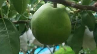 梨が育ってきています