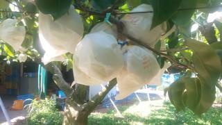 二十世紀梨の収穫が始まります。