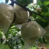 幸水梨の収穫時期が近づいて来ています。