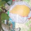 梨のリュウズ