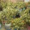 交配用梨の花