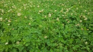 梨山ではシロツメグサを増やしています。