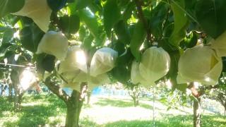 幸水梨の収穫が始まっています