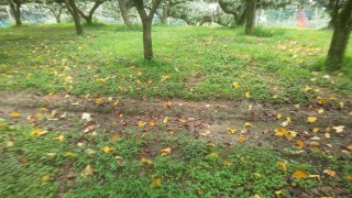 梨山では落葉です