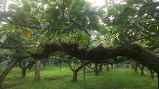 二十世紀梨と豊水梨の収穫が終了しました。